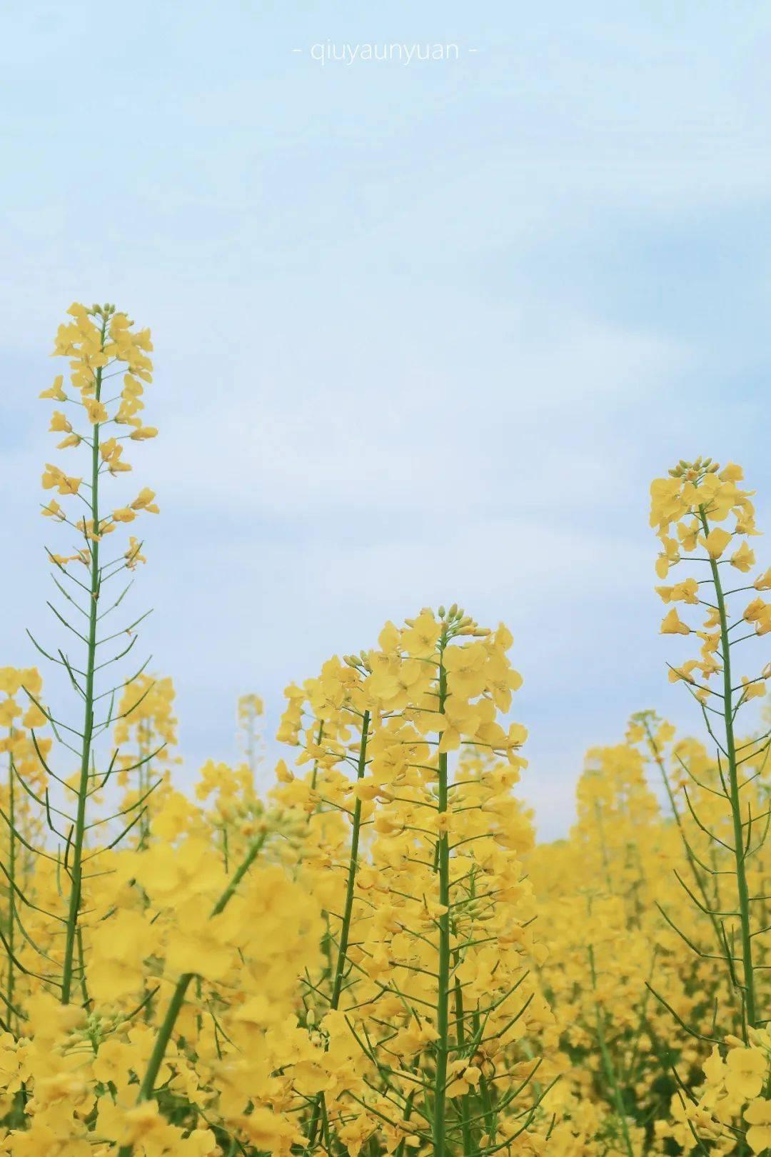 成都3月『看花攻略』,海棠、早樱、油菜花都开好了!
