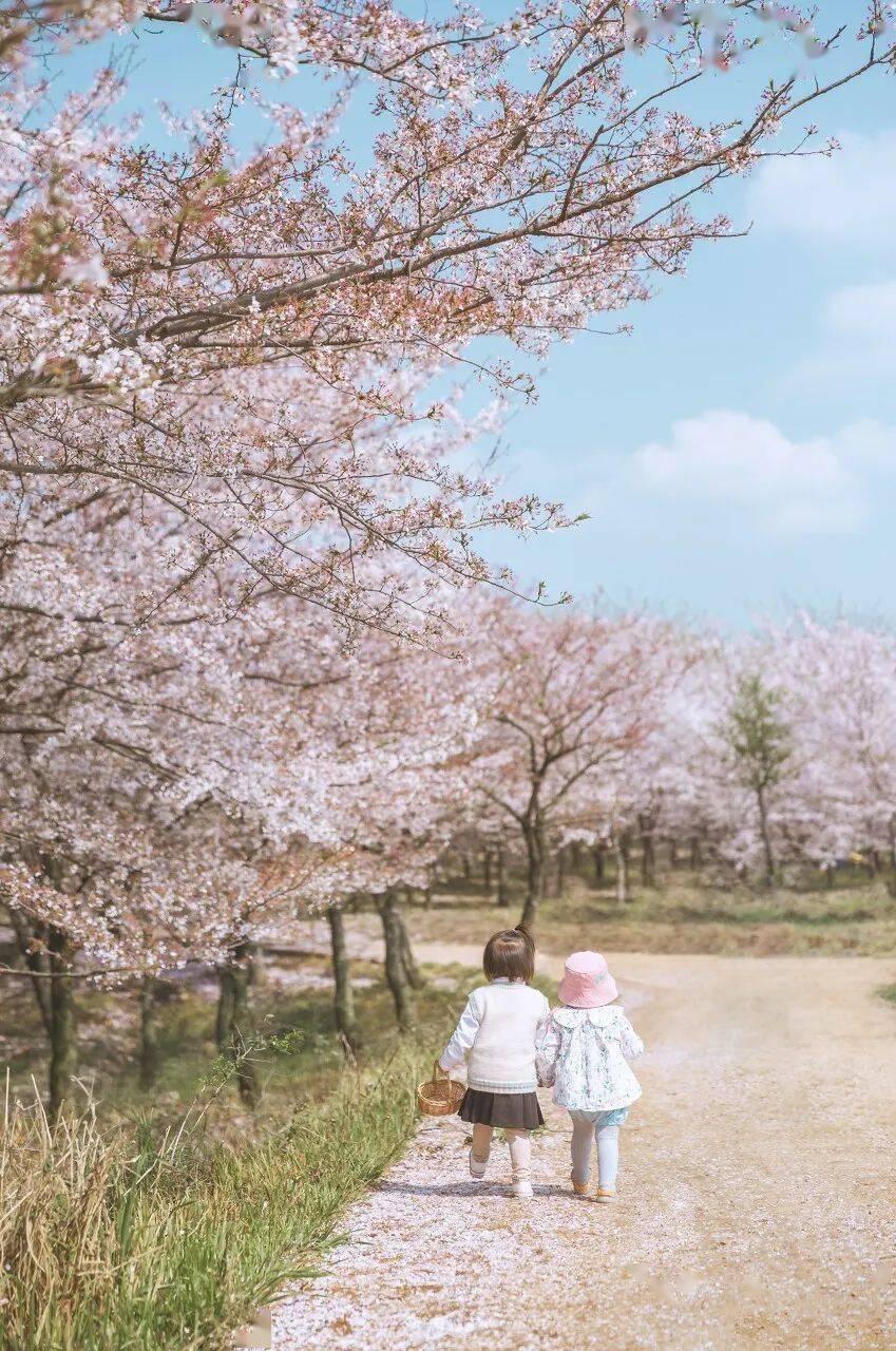 美过日本,不输武汉,全球最大的樱花基地竟在中国,还免费! (图13)