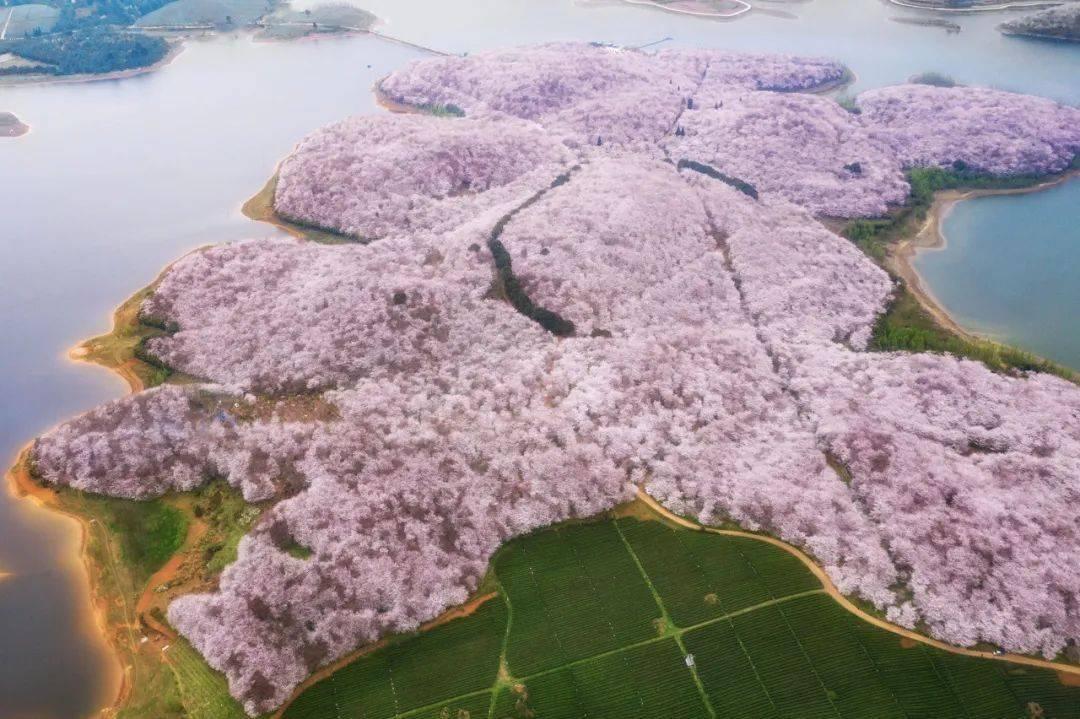 美过日本,不输武汉,全球最大的樱花基地竟在中国,还免费! (图16)