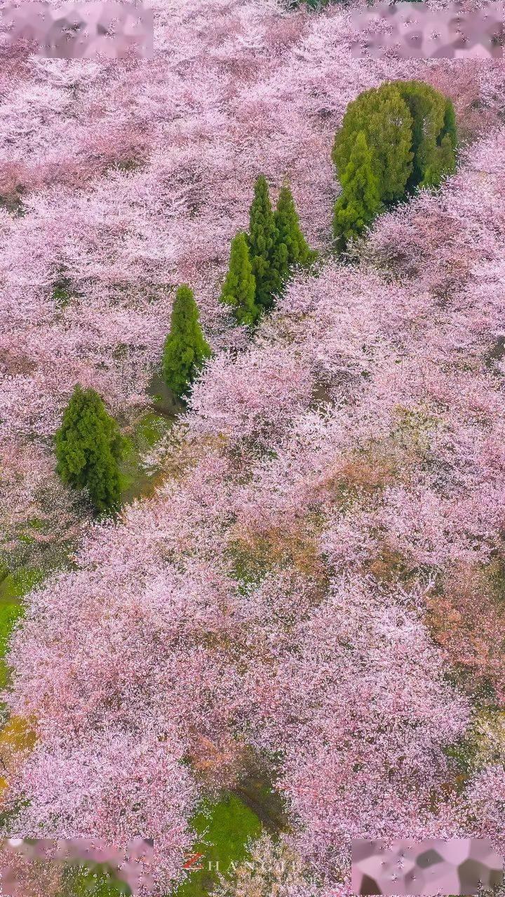 美过日本,不输武汉,全球最大的樱花基地竟在中国,还免费! (图26)