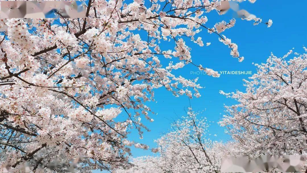 美过日本,不输武汉,全球最大的樱花基地竟在中国,还免费! (图22)