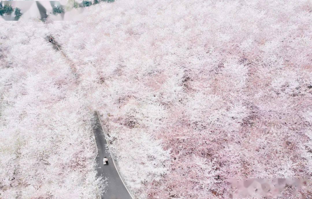 美过日本,不输武汉,全球最大的樱花基地竟在中国,还免费! (图25)