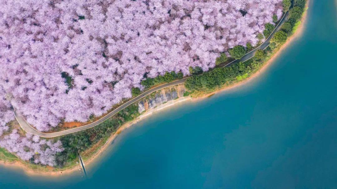 美过日本,不输武汉,全球最大的樱花基地竟在中国,还免费! (图23)