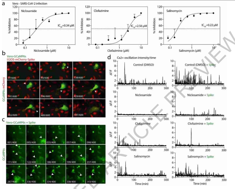 《自然》刊发新冠新研究:一种抗寄生虫药或能预防肺细胞融合