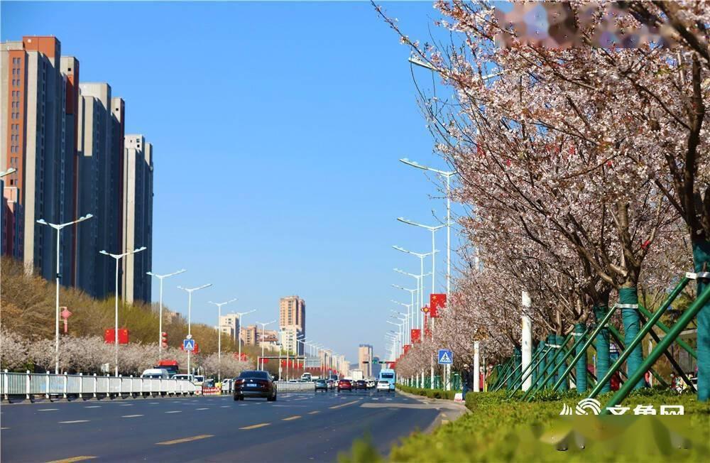 组图|白如雪、粉似霞!威海世昌大道高新区段樱花相继绽放