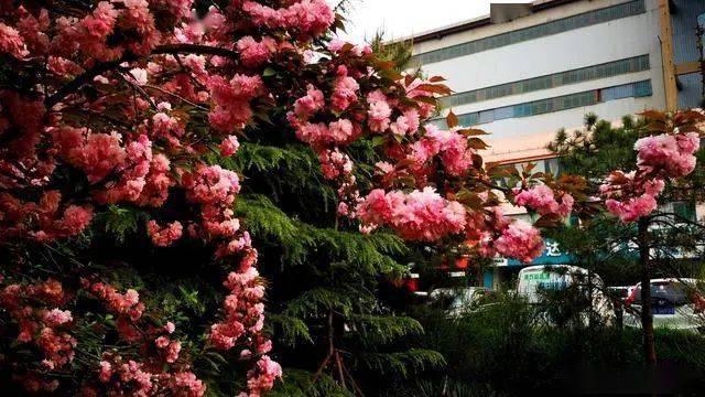 邢台街头再飞花,清明过后花更艳,春暖赏樱正当时