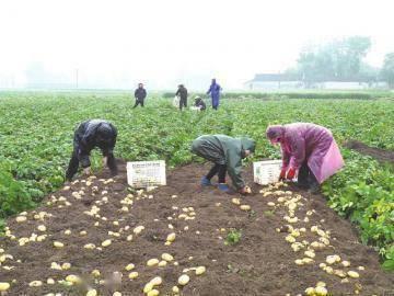 用了新技术 马铃薯增产增收
