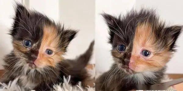 奶猫出生有着一张黑橘对切的脸蛋,是生到一半没墨水了吗?