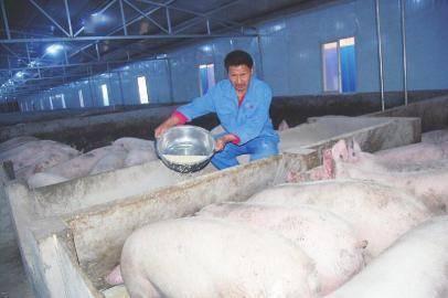 养猪种茶 脱贫村走上循环致富路