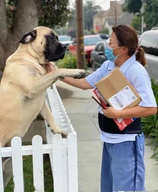 獒犬每天找邮差讨摸,站起来比成年人还要高大,这反差萌让人融化!