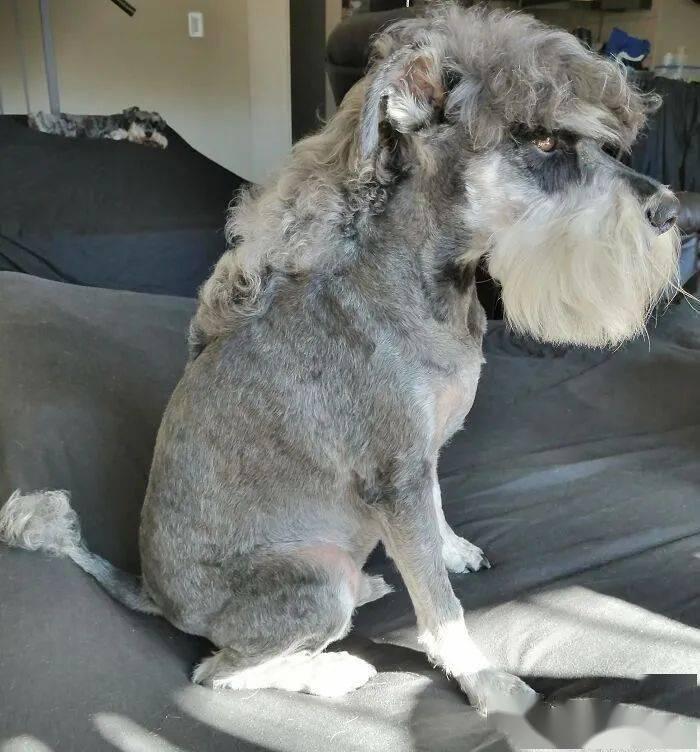 金龙娱乐但日常给长毛狗狗做短毛造型照旧可以的