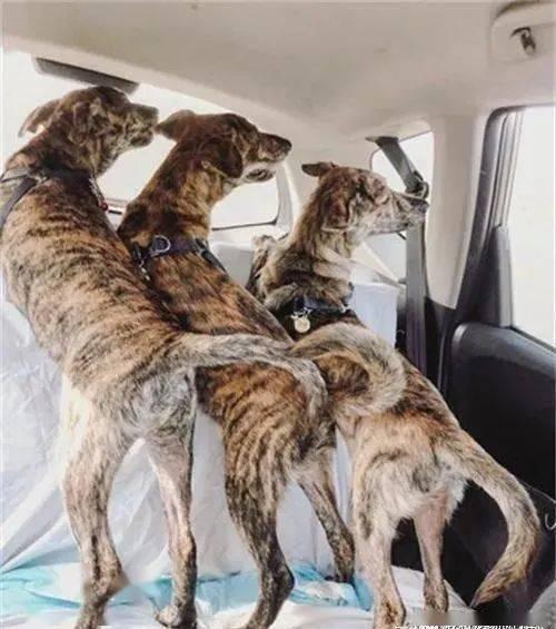 3只虎斑犬好奇地趴在后座同步转头看窗,根本完美复制贴上!