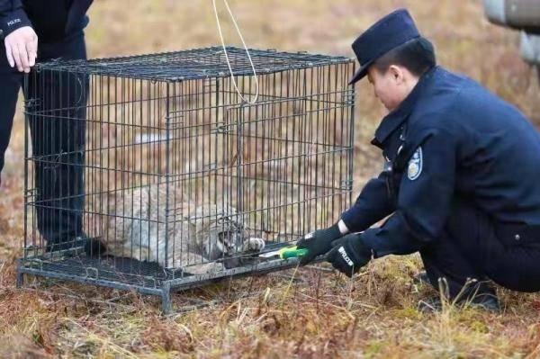 """恒宏首页好凶的""""大猫""""!保护动物猞猁闯民宅,被救护后放归自然 (图1)"""